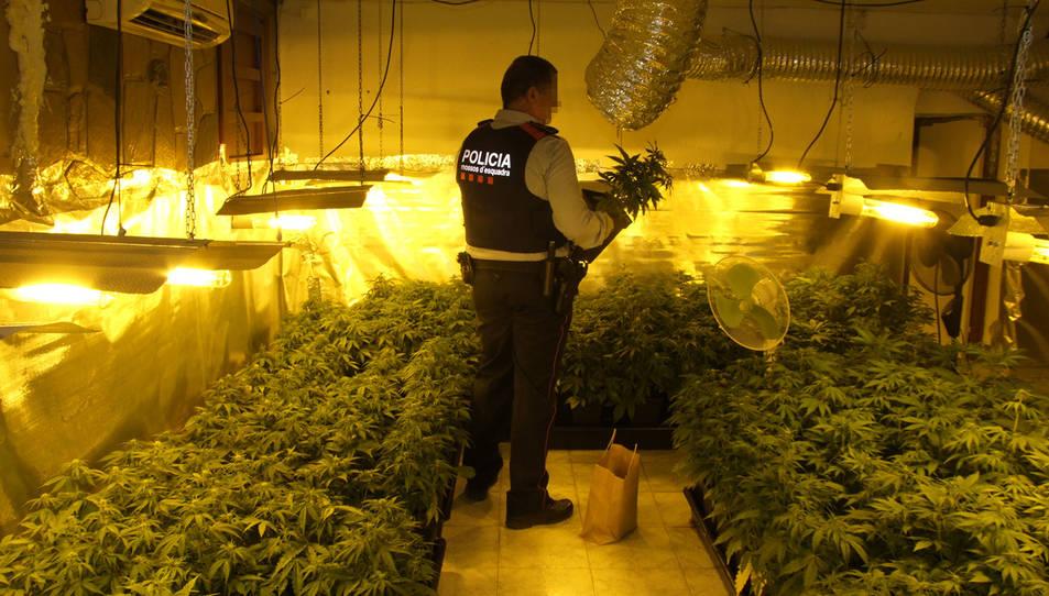 Un agent dels Mossos en la casa on s'ha trobat la plantació.