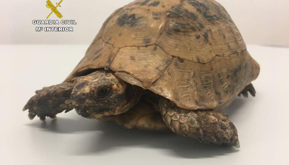 Imatge de la tortuga mora intervinguda.