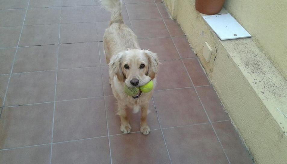 Imatge d'en Woody, el gos desaparegut a Segur de Calafell aquest dijous 6 d'abril.
