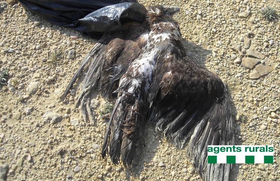 Exemplar d'àguila cuabarrada morta a Tortosa.