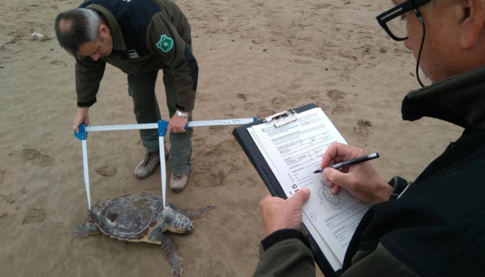 Agents rurals recollint dades científiques d'una de les tortugues babaues trobades a Amposta ahir dimecres.