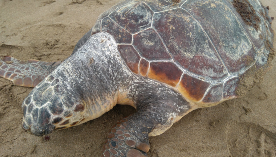 Imatge d'una de les tortugues babaues trobada a Amposta ahir dimecres.