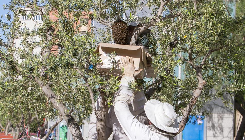 Un instant de la intervenció per traslladar la colònia d'abelles que s'havia instal·lat a peu de carrer.