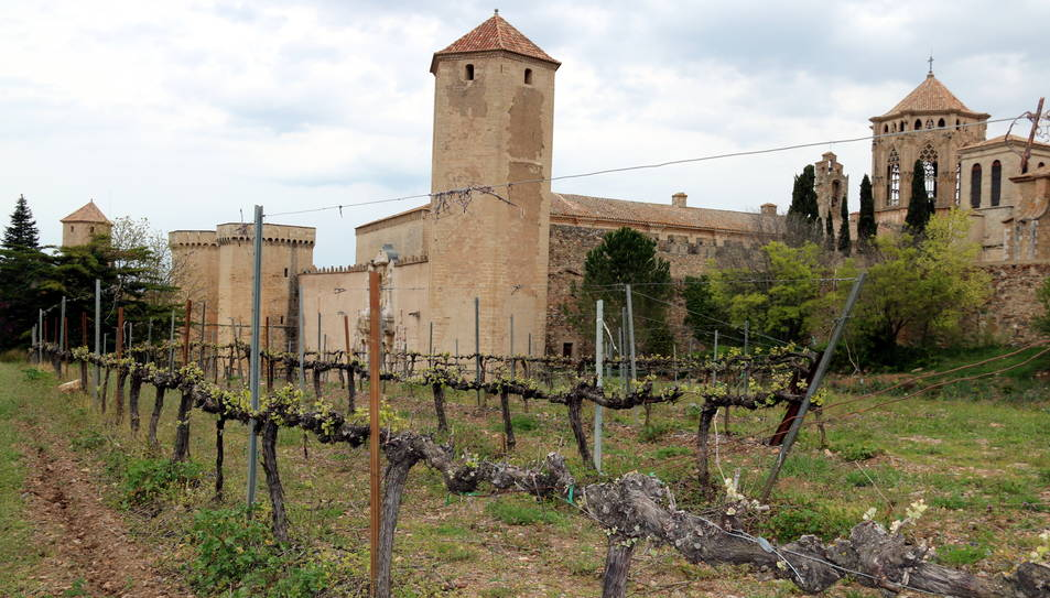 Una vinya dins dels murs del monestir de Poblet, al fons de la imatge.