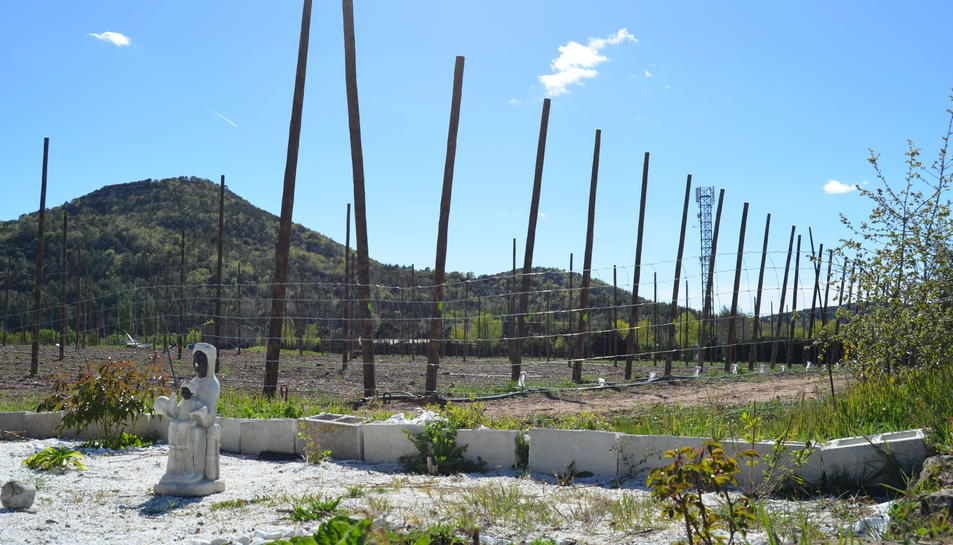 Imatge d'un camp de llúpol a Prades.
