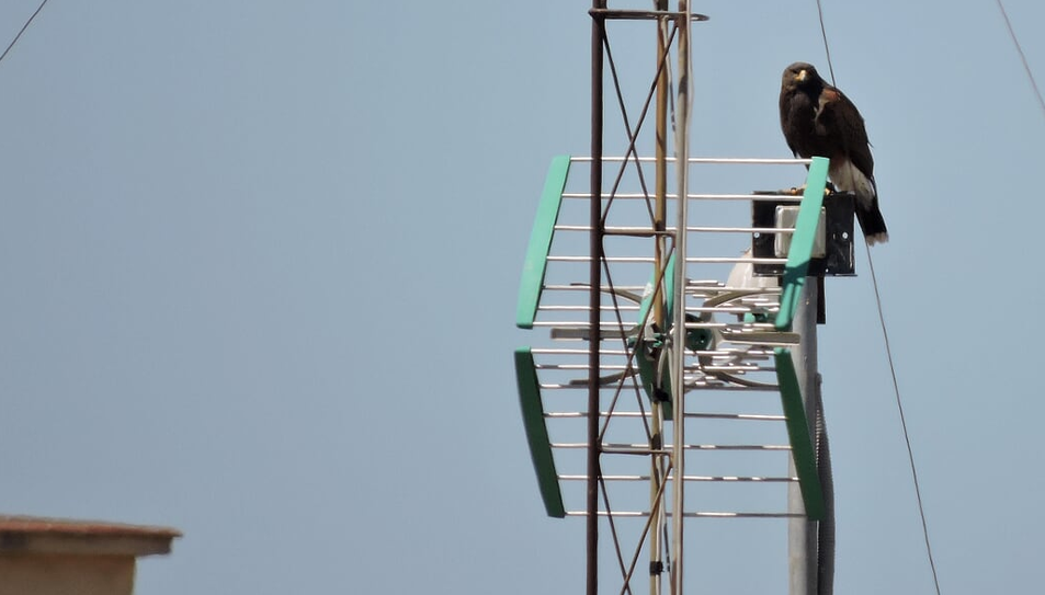 Tot apunta al fet que l'au es va escapar d'algun centre especialitzat o pertanyia a una persona dedicada al món de la falconeria.