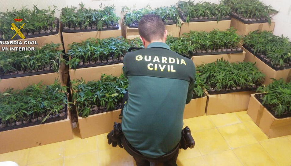Es van interceptar més de 2000 esqueixos de marihuana transportats en capses de cartró.