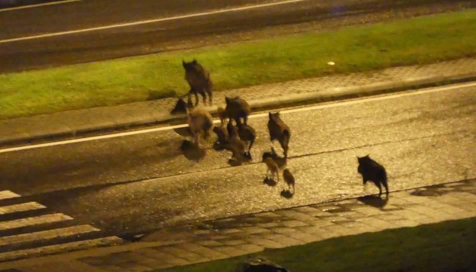 Imatge d'arxiu d'un grup de senglars creuant per un nucli urbà.