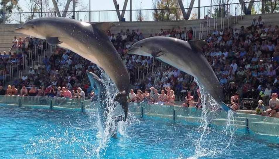 Els dofins a l'Aquopolis durant una exhibició.