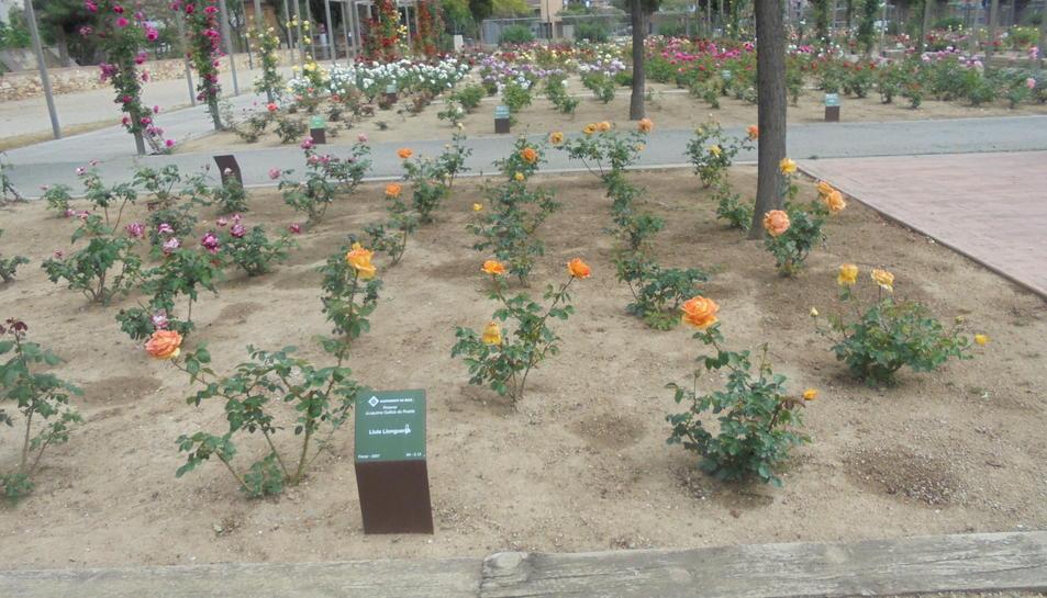 Gairebé la meitat de rosers són de varietats noves.