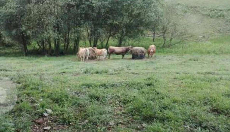 La fotografia que adjunta l'anunciant, on es veu un grup reduït de vaques perquè les altres, en el moment de la fotografia, no sabia on eren.