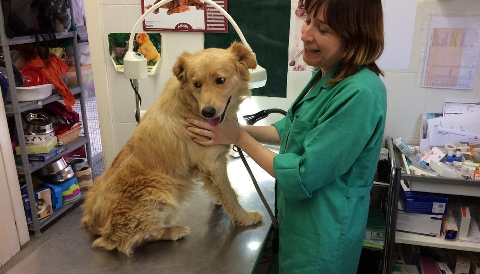 Tayson, el gos que va arribar fa una setmana, ferit, anèmic i amb prop d'un miler de paparres