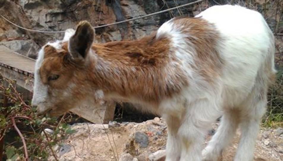 La Cabri, amb quatre banyes, té sis mesos.
