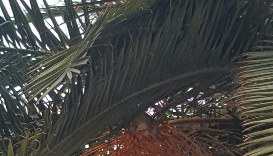 Detall de la rata en una imatge facilitada per una veïna.