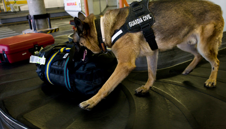 Una imatge genèrica d'un gos policia revisant maletes a la cinta.