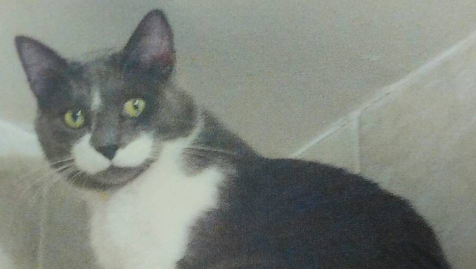 El gat respon al nom de Patricio, i és de color blanc i gris.