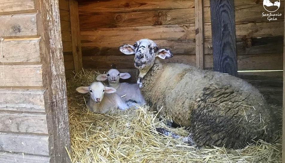 L'ovella i els dos xais recent nascuts es troben al Santuario Gaia, a Camprodon, fora de perill.