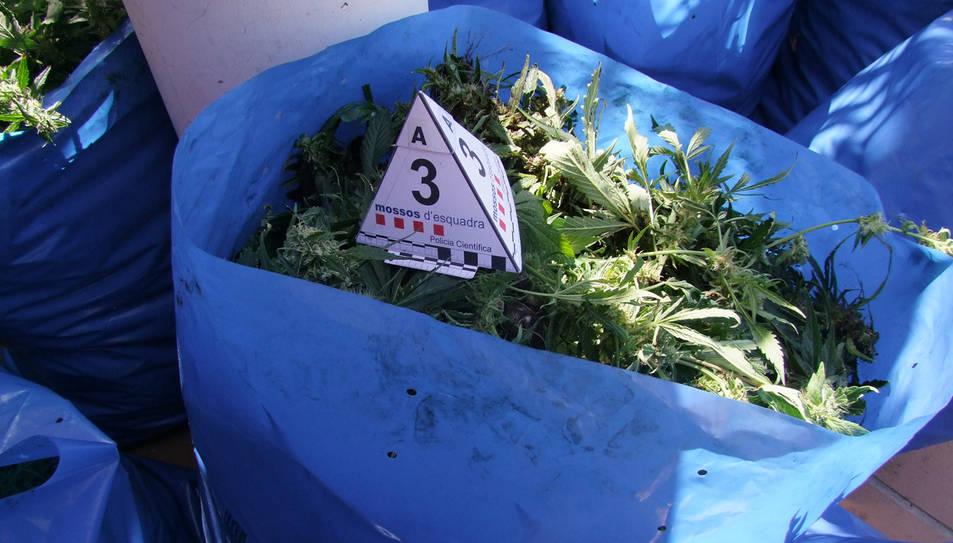 En total es van trobar 2.069 plantes de marihuana a casa de l'home, i làmpades, extractors i tot un sistema de cultiu professional en els dos domicilis.