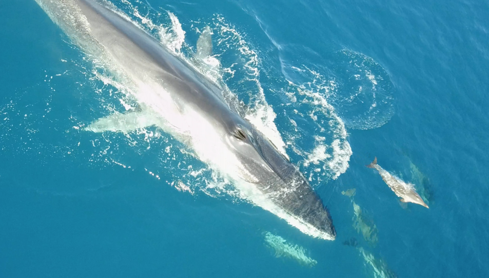 Les balenes albirades són rorquals comuns, les úniques que habiten al Mediterrani.