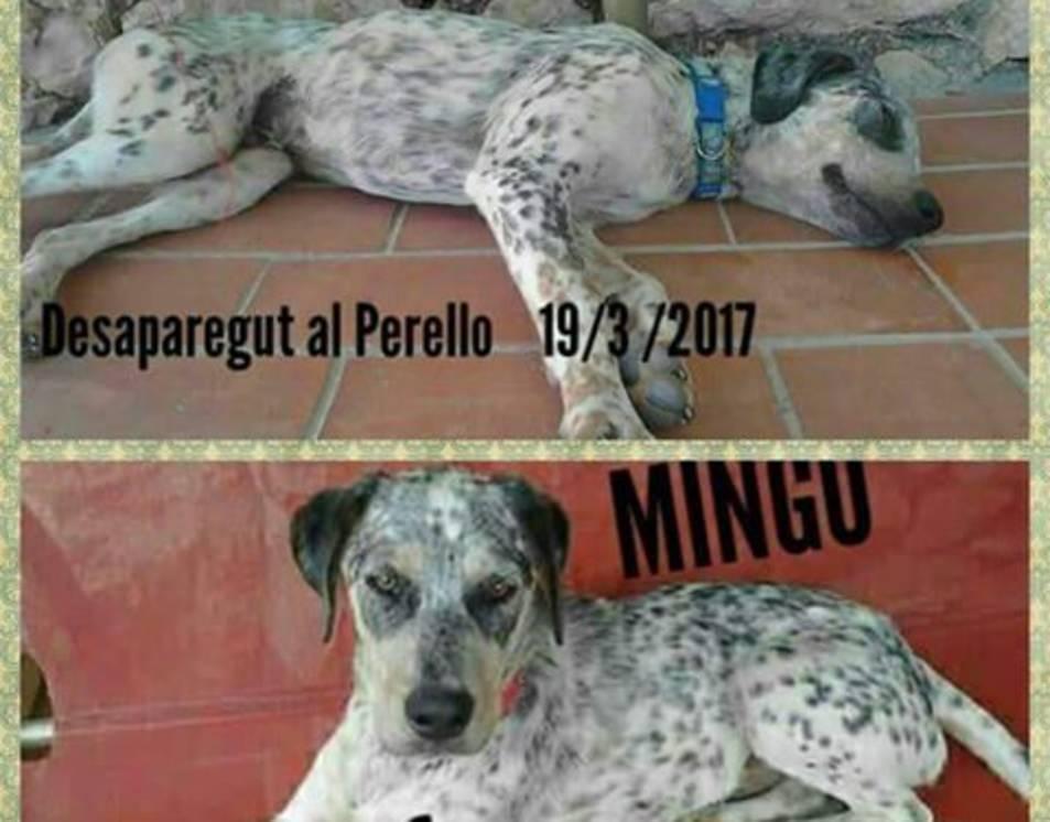 Imatges de Mingo, el gos desaparegut al Perelló.