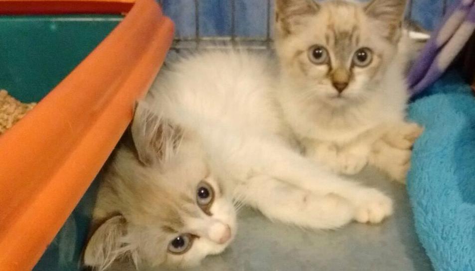 Dos dels gatets que es podran adoptar a la sessió de les Gavarres.