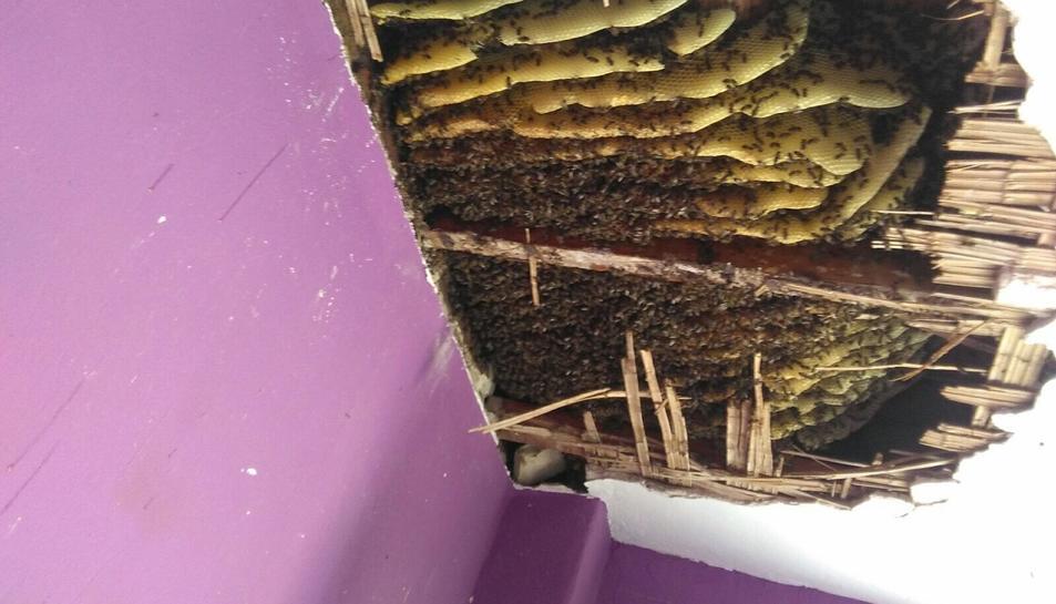 Les abelles accedien directament del carrer al fals sostre, per un forat els maons de l'edifici. El professional assegura que mai s'havia trobat un rusc tan gran.