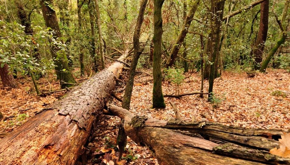 Alguns escarabats poden arribar a viure diversos anys en forma de larva dins un tronc, com el de la fotografia.