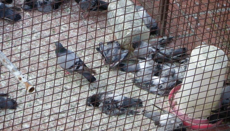 Fa un mes, els veïns van conviure durant diversos dies amb la imatge de desenes de coloms morts per inanició dins de la gàbia trampa.