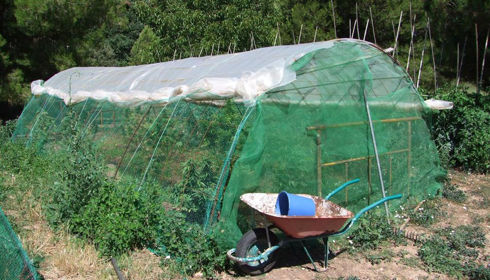 Els Mossos van trobar cinc hivernacles de marihuana i cabdells preparats per vendre.