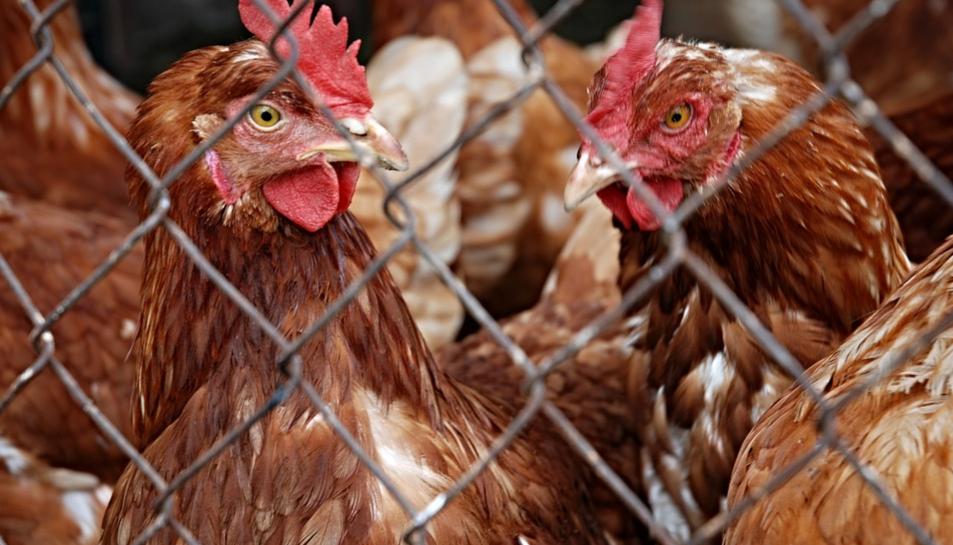 L'afectat va poder recuperar les aus, a excepció de tres gallines.