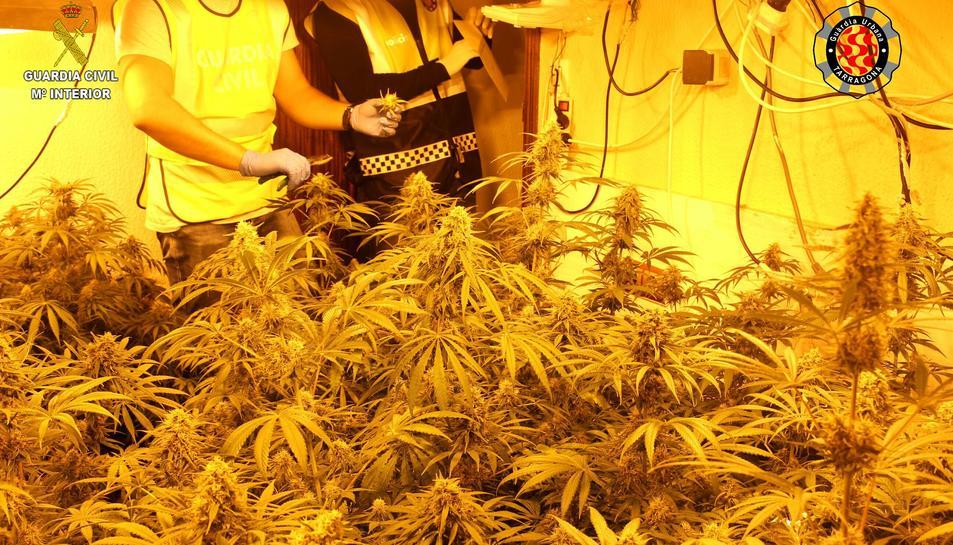 Imatges de la plantació de marihuana trobada a