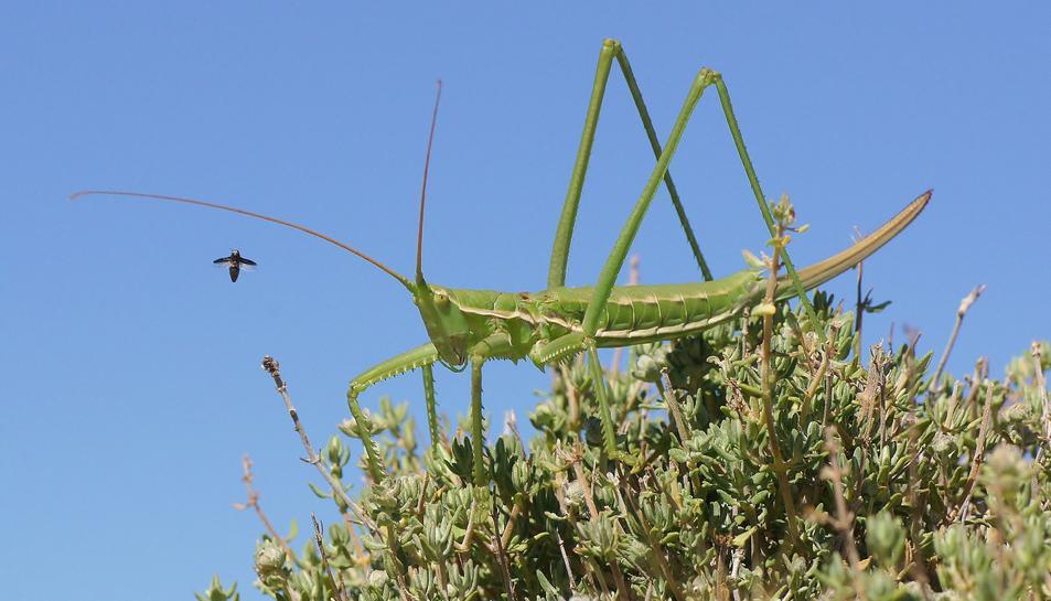 Imatge de la llagosta amenaçada trobada al Parc Natural dels Ports.