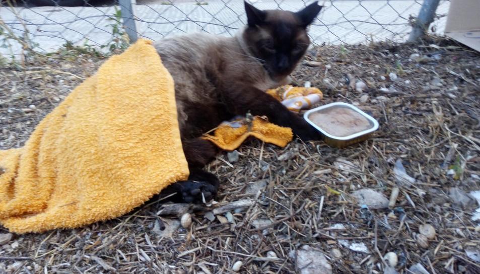 Imatge d'un gat que fa un parell de setmanes estava al carrer i ara es recupera d'una peritonitis.