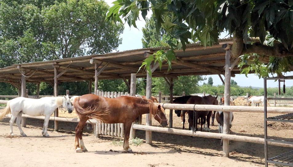 Dos cavalls mengen a l'hípica aquest dijous 20 de juliol de 2017.