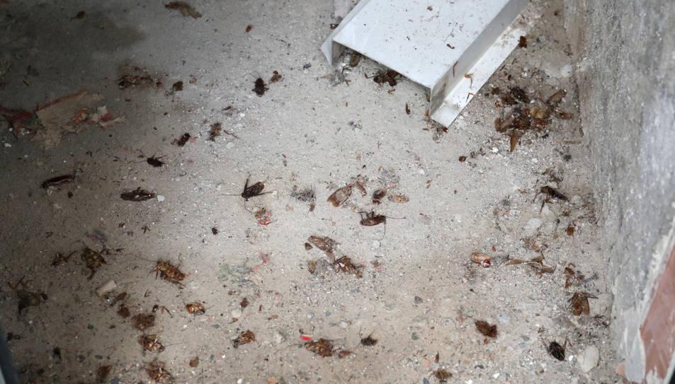 Imatge de desenes de paneroles mortes, resultat de la darrera fumigació que van fer els veïns.