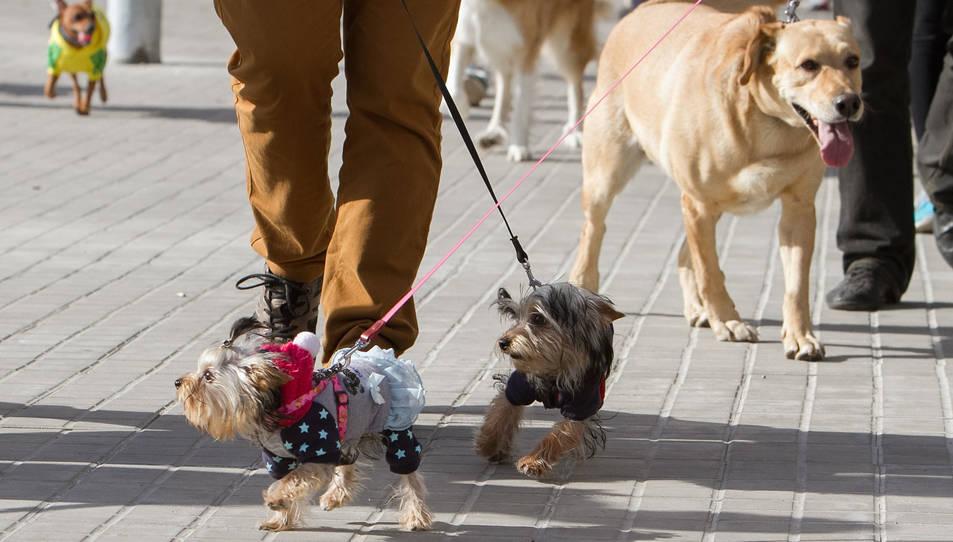 Un grup de gossos passeja per la via pública en una imatge d'arxiu.
