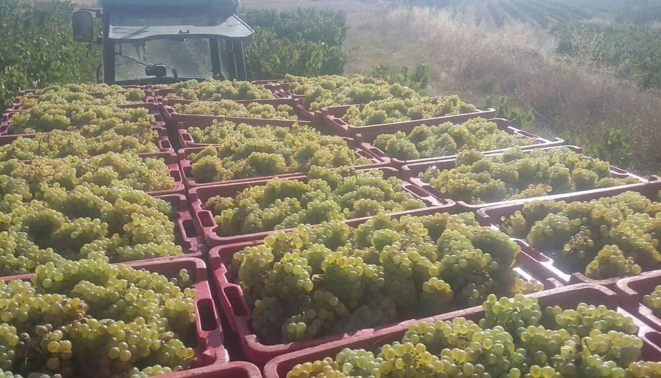 Els viticultors han començat la verema amb les varietats més primerenques, que són les blanques, com el chardonnay.