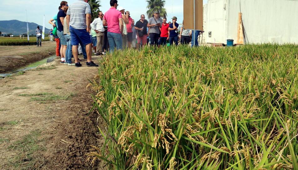 Primer pla d'un camp d'arròs amb un grup d'agricultors seguint les explicacions de les investigadores de l'IRTA en la jornada de camp a l'estació experimental de l'Ebre, a Amposta. Imatge del 31 d'agost de 2017 (horitzontal)