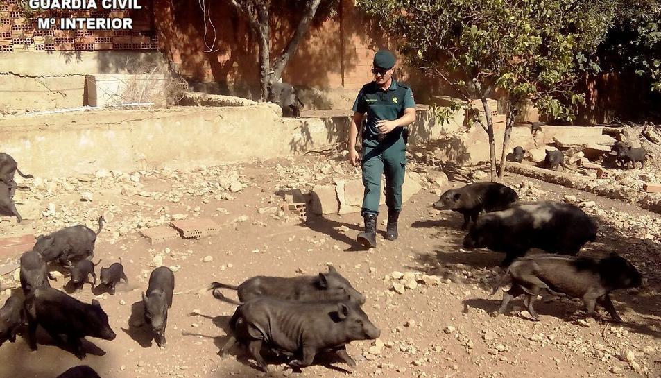 Els porcs estaven en males condicions.