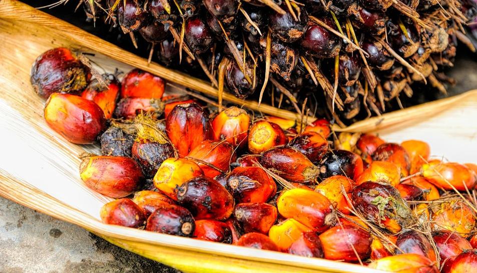 Pla obert del fruit del qual s'extreu l'oli del palma. Imatge publicada el 28 de setembre de 2017