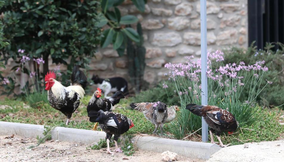 Un grup de galls que viuen en el solar que conté l'immoble de la Torre Forta.