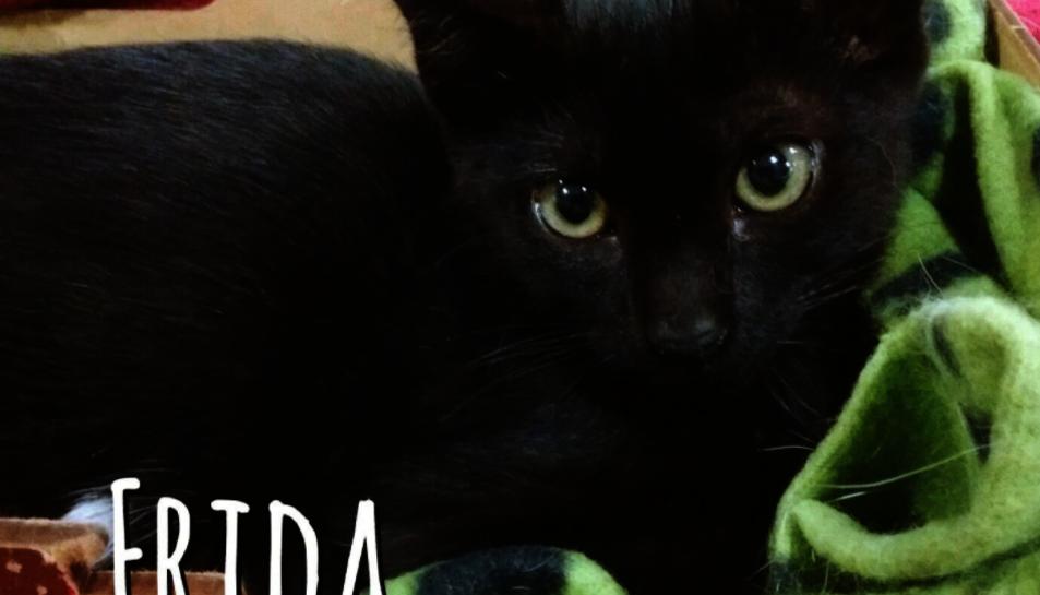 Una gateta en adopció de l'entitat Gaia Tarragona.
