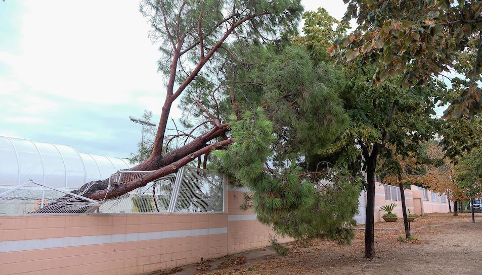 Un arbre caigut a la zona del complex esportiu municipal.