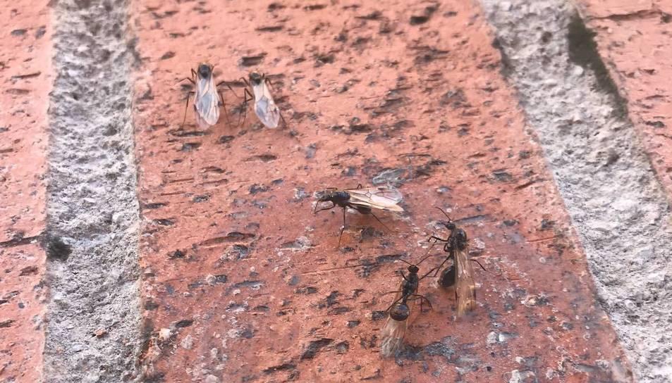 Imatges de formigues voladores a la zona de Torres Jordi a Tarragona.
