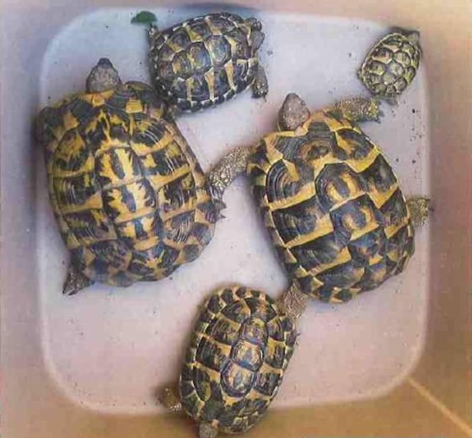 Algunes de les tortugues recuperades i que es venien de manera il·legal.