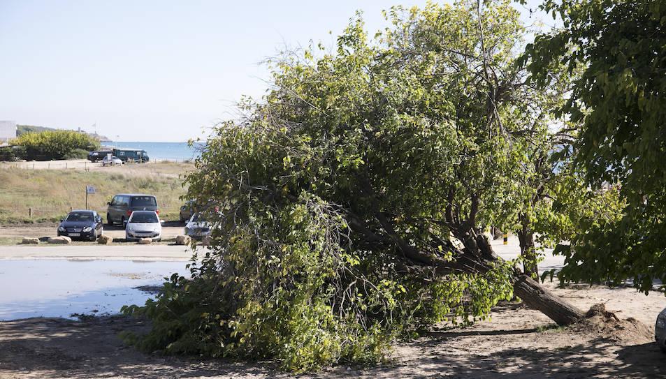 Imatge de l'arbre de grans dimensions caigut a la zona de les moreres de la platja Llarga de Tarragona.