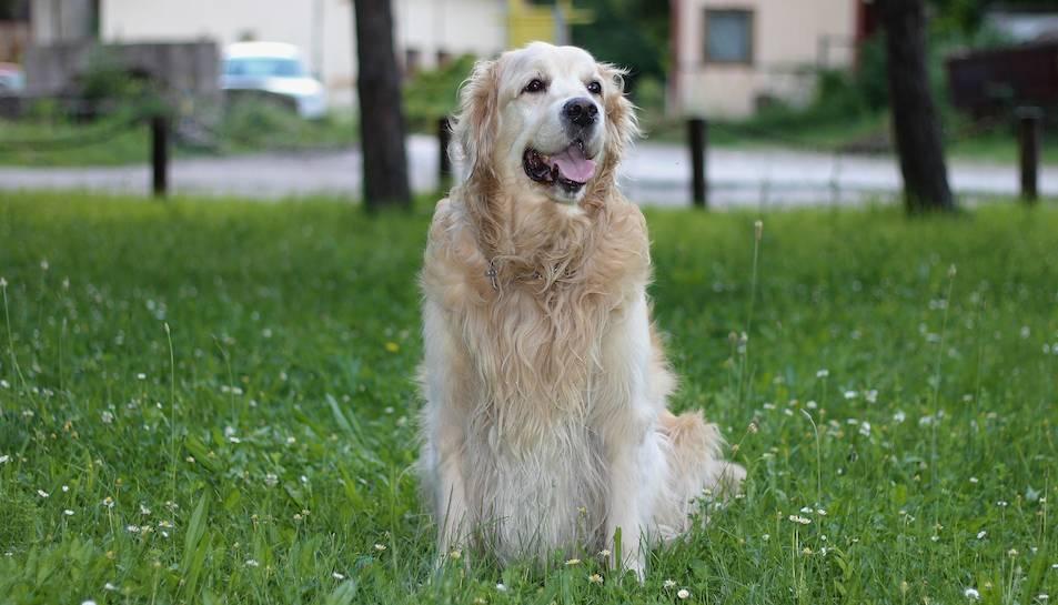Imatge d'arxiu d'un gos de la raça Golden Retriever.