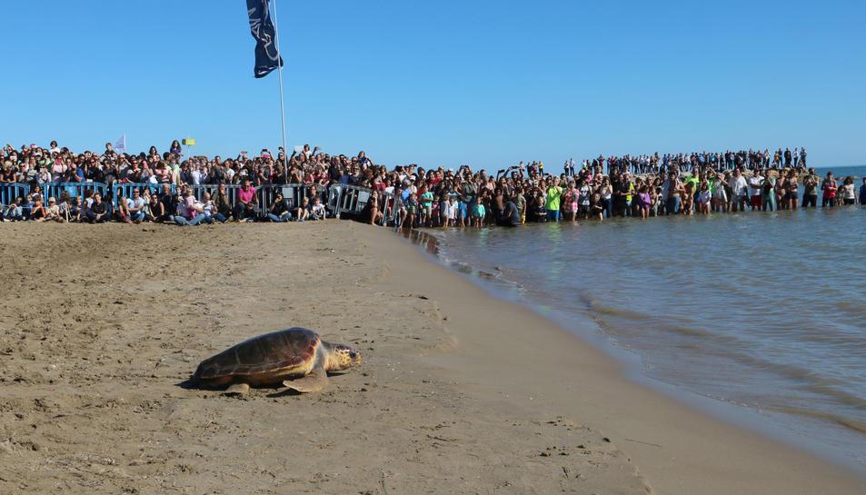 Pla obert de l'alliberament d'una de les tortugues, que avança cap al mar davant l'expectació del públic, a Sant Carles de la Ràpita. Imatge del 29 d'octubre de 2017