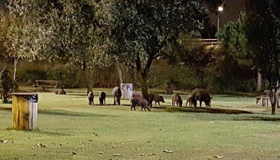 La manada de nou exemplars menjant a la zona de les taules, propera al col·legi Cèsar August.