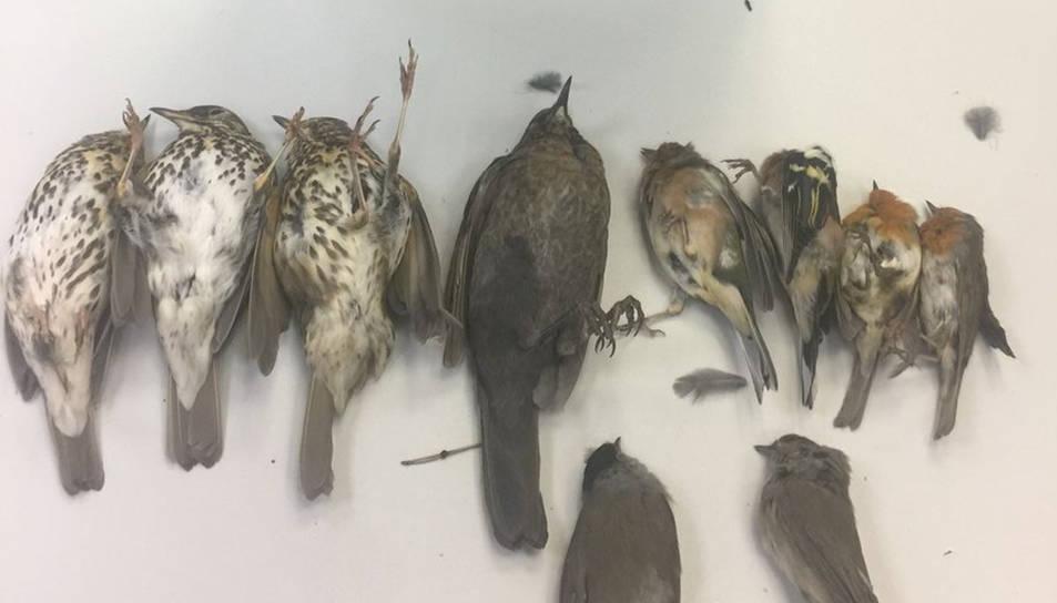 Pla obert dels ocells caçats amb el mètode lloseta. Imatge publicada el 5 de novembre de 2017